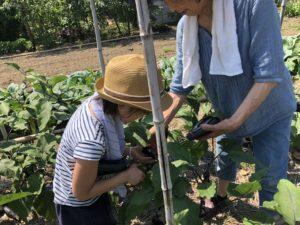 鍼灸師娘茄子収穫